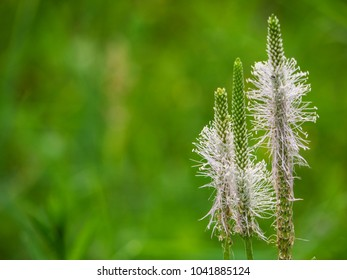 Hoary plantain (Plantago media) flower stems. Plant in the family Plantaginaceae with white inflorescence born on downy stem