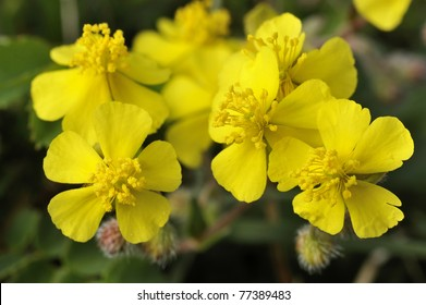 Hoary Rock-rose - Helianthemum canum, growing on The Burren