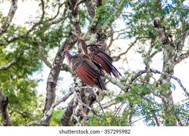 Hoatzin (Opisthocomus hoazin) bird on a tree lining Yacuma river, Bolivia