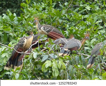 Hoatzin (Opisthocomus hoazin), also known as the reptile bird, skunk bird, stinkbird, or Canje pheasant. Opisthocomidae family. Location near Mamori, Amazonas – Brazil