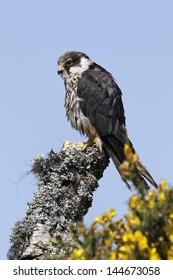 Hobby, Falco subbuteo, single captive bird on branch, Midlands, April 2011