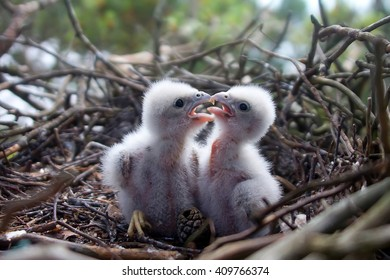 Hobby falcon (Falco subbuteo). Little Chicks hobby in white downy plumage in nest. Nestlings vie for dominance when getting feed, bird behavior. Future Lord of sky