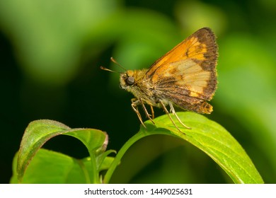 Hobomok Skipper Butterfly perched on a green leaf. Taylor Creek Park, Toronto, Ontario, Canada.