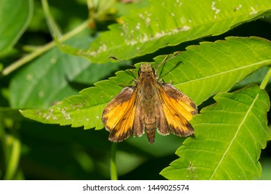 Hobomok Skipper Butterfly resting on a green leaf. Taylor Creek Park, Toronto, Ontario, Canada.