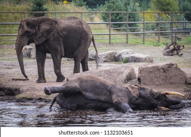 Hodenhagen, Germany - August 17, 2009: African elephant in Serengeti Park, zoo and leisure park in Hodenhagen in North Germany