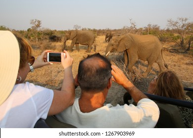 HOEDSPRUIT, SOUTH AFRICA - SEPTEMBER 27, 2018: Tourists in safari vehicle observing herd of African bush elephants in Timbavati Private Nature Reserve, South Africa