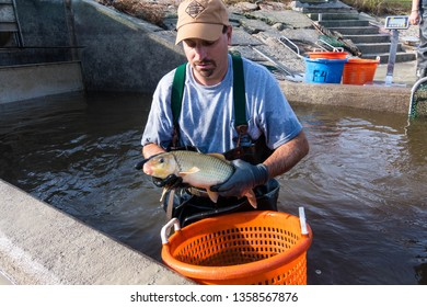 Hoffman, NC/United States - 11/01/2018: Biologist for the North Carolina Wildlife Resources Commission  work to measure, weigh and catalog Robust Redhorse fish at the McKinney Lake Fish Hatchery/
