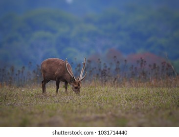 Hog deer (Cervus porcinus), small male deer, walking and eating on green grassland at Phu Kaew Wildlife Sanctuary, Thailand. Beautiful scenery of wild animal in natural habitat with forest background.