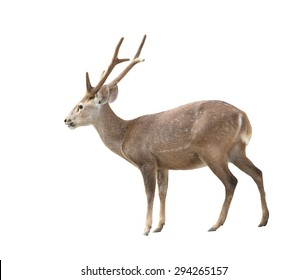 hog deer isolated on white background