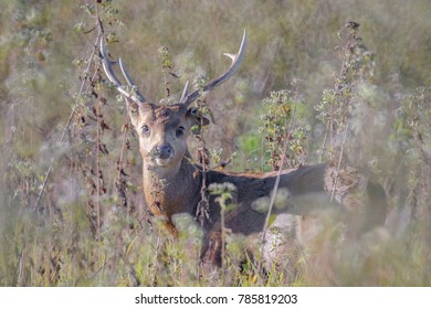 Hog deer living in the wild and have a donut Bokeh background.