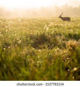 Hog deer on meadow in forest on foggy morning in autumn. Deer in natural habitat