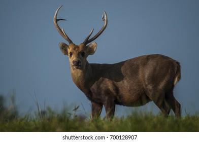 hog deer standing