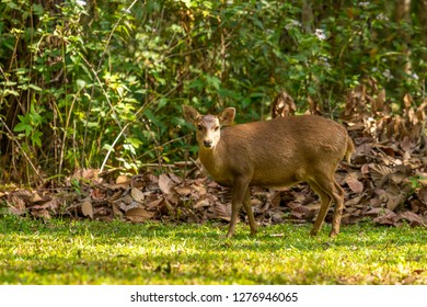Hog deers freely live in a national park of northeast of Thailand