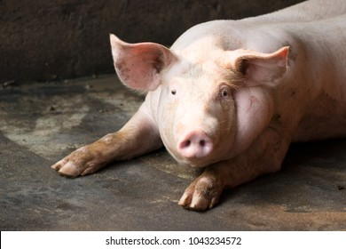 Hog waiting feed. Pig indoor on a farm yard in Thailand. swine in the stall. Close up eyes and blur. Portrait animal.