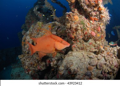 Hogfish on the Spiegel Grove
