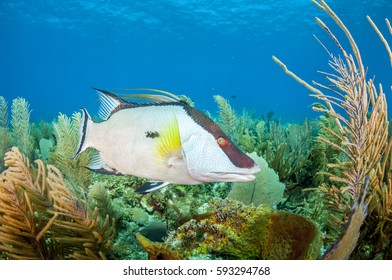 Hogfish portrait on lush coral reef