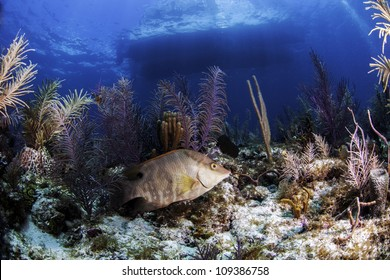 a Hogfish surrounded by colorful coral reef in the atlantic ocean with a boats outline on the surface in the background. Blue water and light rays as well in Key Largo, florida
