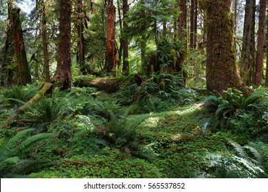 Hoh rain Forest in Washington state coast, USA