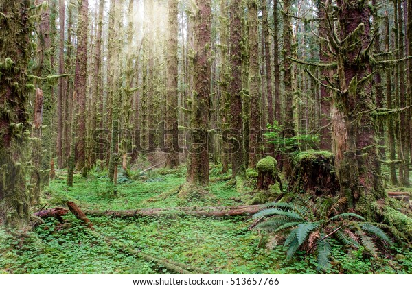 Hoh rainforest in Olympic National Park with sun shining through the trees.
