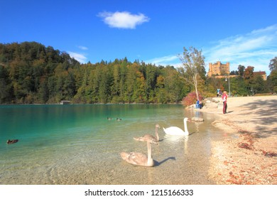 Hohenschwangau, Germany - Ocotober6 2018.   A swan and it's cygnets in Alpsee Lake with Honhenschwangau Castle in the background.