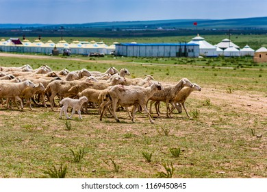 Hohhot, Inner Mongolia Province / China - July 30th 2016: A herd of sheep in the grassland of the Inner Mongolia steppe with yurt tents in the background.