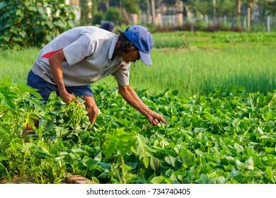 HOI AN, VIETNAM - 4/25/2016: A farmer works at Vegetable Village in Hoi An, Vietnam.
