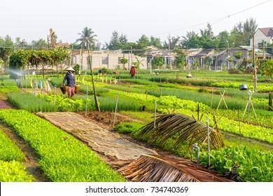 HOI AN, VIETNAM - 4/25/2016: Farmers work at Vegetable Village in Hoi An, Vietnam.