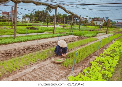 HOI AN, VIETNAM - MARCH 17, 2017: Tra Que village, organic vegetable field, near Hoi An old town, Vietnam