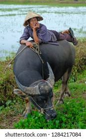 Hoi An / Vietnam, 11/11/2017: Local Vietnamese man with rice hat relaxing and sitting/lying on the back of a water buffalo in a rice paddy surrounding Hoi An in Vietnam.