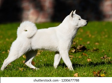 hokkaido dog on the grass