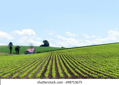 Hokkaido Farmland Scenery with Bright Blue Sky, Low Fluffy Clouds and Small Farmhouse - Wide Open Space