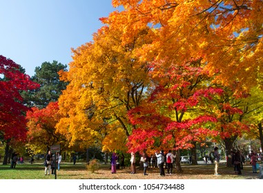 Hokkaido, Japan - Nov. 4, 2017 : Colorful autumn maple leaves at Hokkaido University.