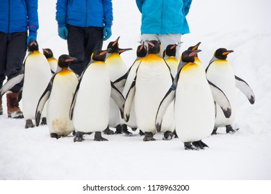 Hokkaido, Japan-March 1, 2018: Penguins marching in the zoo. Penguin Parade in Asahiyama Zoo at Asahikawa, Hokkaido, Japan