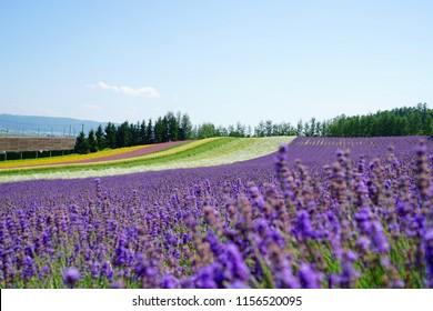 Hokkaido lavender flower summer  tomita farm in Furano and Shikisai no Oka in Biei