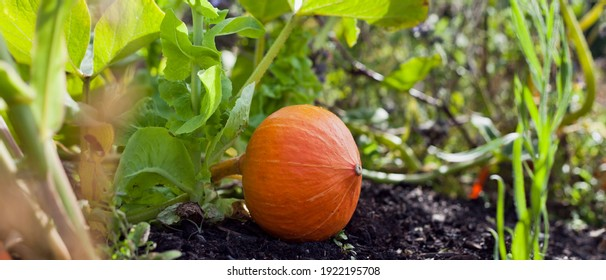 Hokkaido red kuri pumpkin squash in the farm garden. It is a thin skinned orange colored winter squash, that has the appearance of a small pumpkin without the ridges.