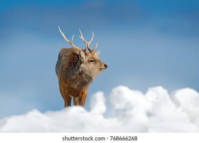 Hokkaido sika deer, Cervus nippon yesoensis, on snowy meadow, winter mountains in the background. Animal with antler in nature habitat, winter scene, Hokkaido, Japan.