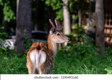 Hokkaido Sika Deer.The photography place is a setting sun stand observatory(Japanese name is Yuuhidai.) in Utoro,Shari-cho Hokkaido Japan(Shiretoko Peninsula).
