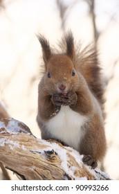 Hokkaido Squirrel (Ezorisu) in Winter mountain.Subspecies of Red Squirrel native to Hokkaido,Japan.