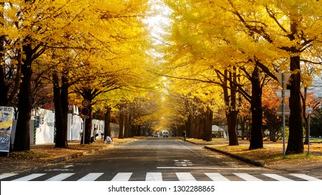 Hokkaido University, Japan - 11 Nov, 2014 :  famous tree in Japanese autumn is the ginkgo and there is a ginkgo avenue in Hokkaido University