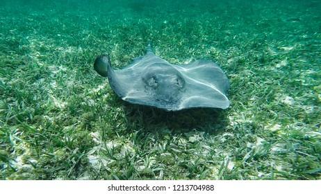Hol Chan Marine Reserve, Rays, Caye Caulker, Belize