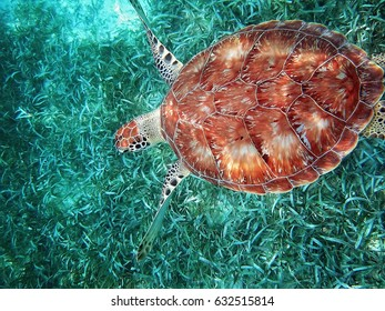 Hol Chan national park, Belize, scuba diving with turtles