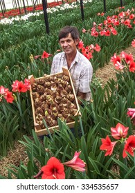 Holambra, Brazil. November 29, 2004. Farmer with a box of bulbs of flowers within a greenhouse with flowers
