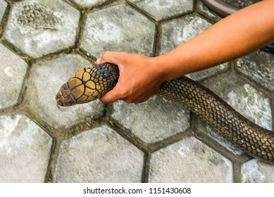 Hold King Cobra by Hand