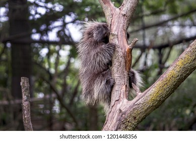 hold on tight porcupine! A sharp quilled rodent loves to be in trees