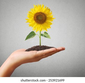 holding-beautiful-sunflower-hand-260nw-2