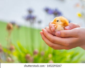 holding a chick in the hands showing affection and creating a feeling of safety and security