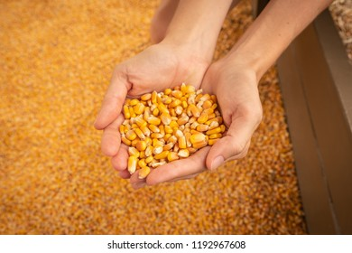Holding Corn in Female Hands