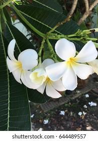 holding Frangipani flowers white yellow Plumeria flower