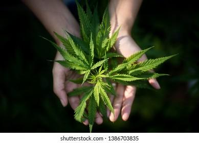 holding fresh marijuana leaf close-up