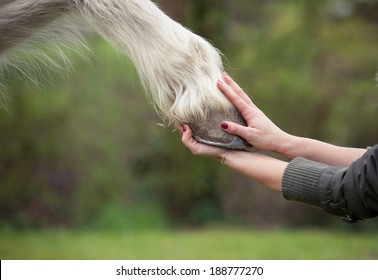 holding hoof of a white horse